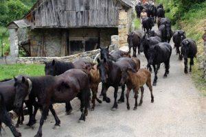 Transhumance des chevaux Mérens dans les Pyrénées