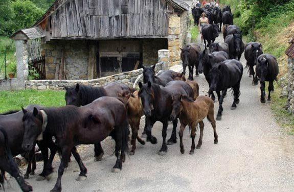 Transhumance de chevaux Pyreneens | destinations cheval